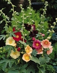 Alcea ficifolia - Happy Lights (Hollyhock)