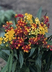 Asclepias tuberosa - Gay Butterflies (Butterfly Weed)