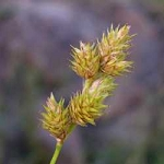 Carex brevior - Plains Oval Sedge