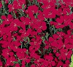 Dianthus deltoides - Brilliant Maiden Pinks