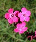 Dianthus carthusianorum - Cluster Flower
