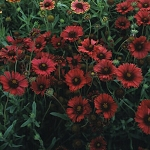 Gaillardia aristata - Burgundy (Blanket Flower)