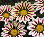 Gazania - Big Kiss White Flame