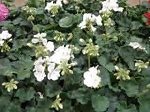 Geranium - White Cutting Grown
