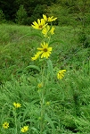 Helianthus maximillani - Maximillian Sunflower