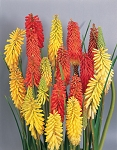 Kniphofia tritoma - Flamenco (Red Hot Poker)