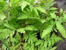 Onoclea sensibilis - Sensitive Fern