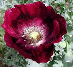 Papaver laurens - Springer Grape (Poppy)