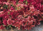 Sedum spurium cocineum - Dragon's Blood