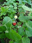Strawberry - Fragaria-Alpine