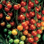 Tomatoes - Super Sweet 100 - Organic