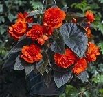 Tuberous Begonia - Go-Go Orange