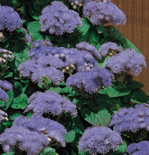 Ageratum - Hawaii Blue