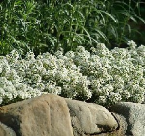 Alyssum - Snow Crystal