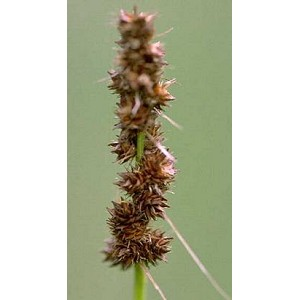 Carex vulpinoidea - Brown Fox Sedge