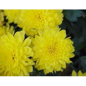 "Mega Mum - 12"" Pot yellow color"