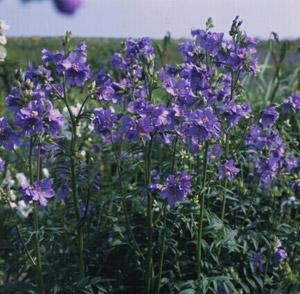 Polemonium foliossima - Blue Master (Jacob's Ladder)