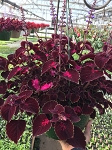 Hanging Basket - Coleus-Cascade Red