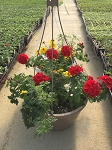 Hanging Basket Combo - Dazzler - *** SOLD OUT