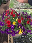Hanging Basket Combo - Fireworks - *** SOLD OUT