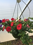 Hanging Basket Combo - Old Glory