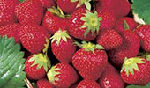 STRAWBERRY PAKS - 12 - 4 PAKS