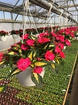 Hanging Basket - Sunpatiens-Tropical Rose