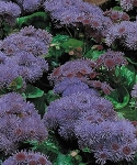 Ageratum - Bass Lake Marina Blue