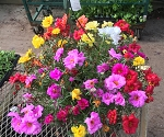 Hanging Basket Combo - Hot Toucan Mix