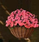 Impatiens - Beacon Coral