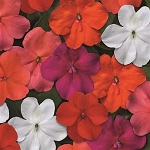 Impatiens - Beacon Select Mix