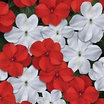 Impatiens - Beacon Red/White Mix