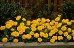 Marigold - Janie Bright Yellow