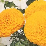 Marigold - Perfection Yellow