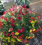 Hanging Basket Combo - Raging Fire