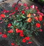 Hanging Basket - Sunpatiens-Tropical Orange