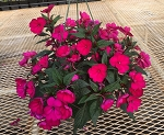 Hanging Basket - Sunpatiens-Royal Magenta