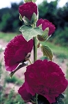 Alcea rosea - Chaters Royal Purple (Hollyhock)