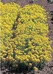 Alyssum montanum - Mountain of Gold