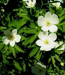 Anemone canadensis - Canadian Anemone