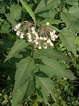 Asclepias exaltata - Poke Milkweed - *** SOLD OUT UNTIL JUNE
