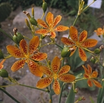 Belamcanda chinensis - Blackberry Lily (Candy Lily)
