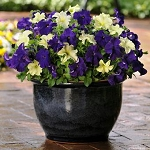Hanging Basket Combo - Blueberry Lime Jam Petunia - *** SOLD OUT