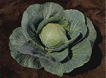 Cabbage - Stonehead