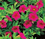 Hanging Basket - Calibrachoa-Million Bells Cherry