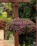 Hanging Basket - Calibrachoa-Million Bells Dark Pink