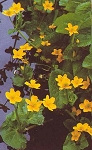 Caltha palustris - Marsh Marigold - *** SOLD OUT UNTIL 2ND PLANTING
