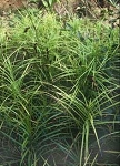 Carex muskingumensis - Palm Sedge