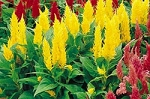 Celosia - Castle Yellow