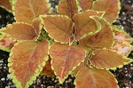 Hanging Basket - Coleus-Rustic Orange